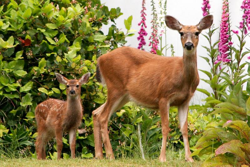 Deer and Foxgloves