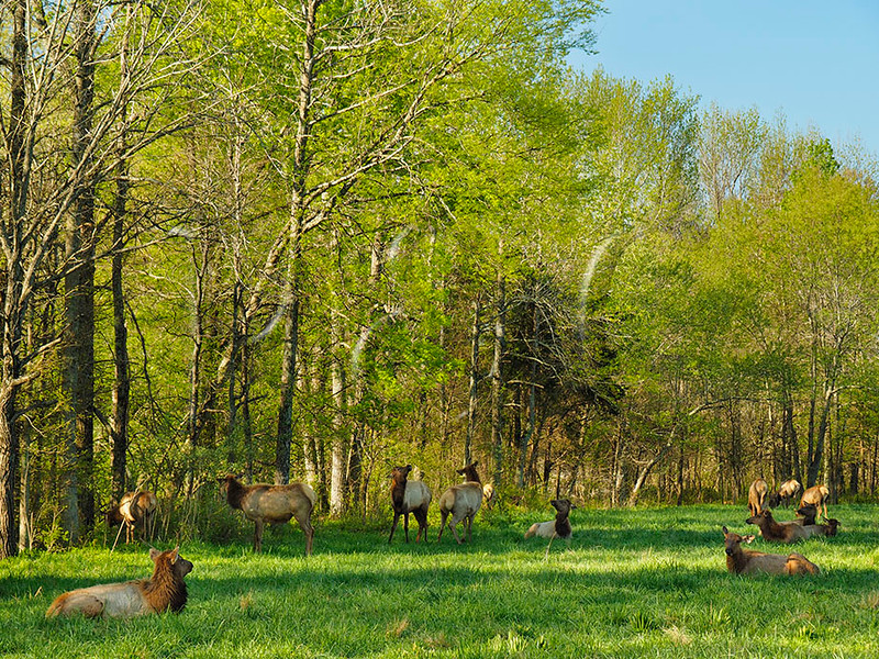 KY GOLDEN POND LAND BETWEEN THE LAKES NRA Elk and Bison Prairie APRAF_4160665bMMW
