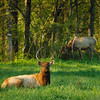 KY GOLDEN POND LAND BETWEEN THE LAKES NRA Elk and Bison Prairie APRAF_4160381cMMW