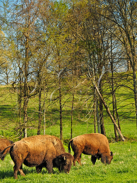 KY GOLDEN POND LAND BETWEEN THE LAKES NRA Elk and Bison Prairie APRAF_4150875MMW