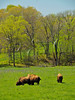 KY GOLDEN POND LAND BETWEEN THE LAKES NRA Elk and Bison Prairie APRAF_4150796MMW