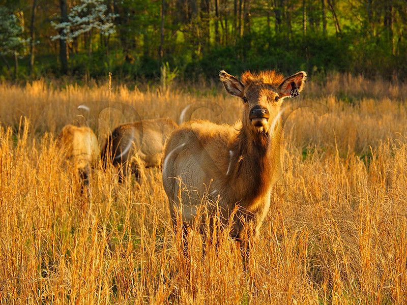 KY GOLDEN POND LAND BETWEEN THE LAKES NRA Elk and Bison Prairie APRAF_4150259bMMW