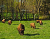 KY GOLDEN POND LAND BETWEEN THE LAKES NRA Elk and Bison Prairie APRAF_4160795bMMW