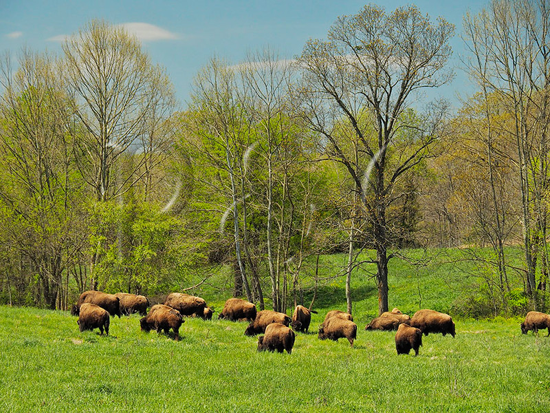 KY GOLDEN POND LAND BETWEEN THE LAKES NRA Elk and Bison Prairie APRAF_4150784MMW