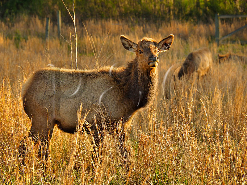 KY GOLDEN POND LAND BETWEEN THE LAKES NRA Elk and Bison Prairie APRAF_4150206bMMW