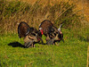 KY GOLDEN POND LAND BETWEEN THE LAKES NRA Elk and Bison Prairie TURKEY APRAF_4160628MMW