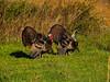 KY GOLDEN POND LAND BETWEEN THE LAKES NRA Elk and Bison Prairie TURKEY APRAF_4160628MMW