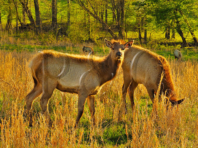 KY GOLDEN POND LAND BETWEEN THE LAKES NRA Elk and Bison Prairie APRAF_4150595MMW