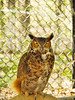 KY GRAND RIVERS LAND BETWEEN THE LAKES NRA WOODLANDS NATURE STATION GREAT HORNED OWL APRAF_4160160MMW