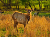 KY GOLDEN POND LAND BETWEEN THE LAKES NRA Elk and Bison Prairie APRAF_4150275bMMW