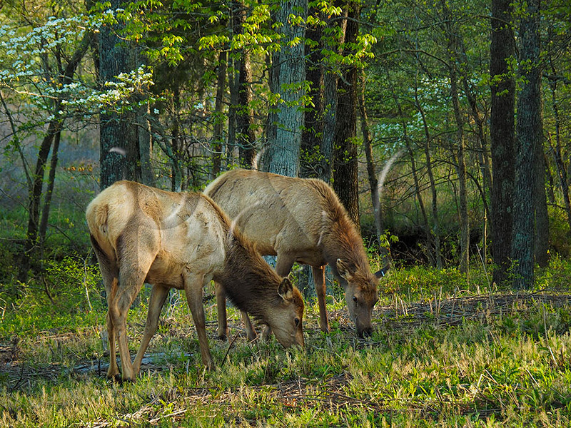 KY GOLDEN POND LAND BETWEEN THE LAKES NRA Elk and Bison Prairie APRAF_4170394bMMW