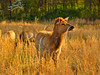 KY GOLDEN POND LAND BETWEEN THE LAKES NRA Elk and Bison Prairie APRAF_4150266bMMW