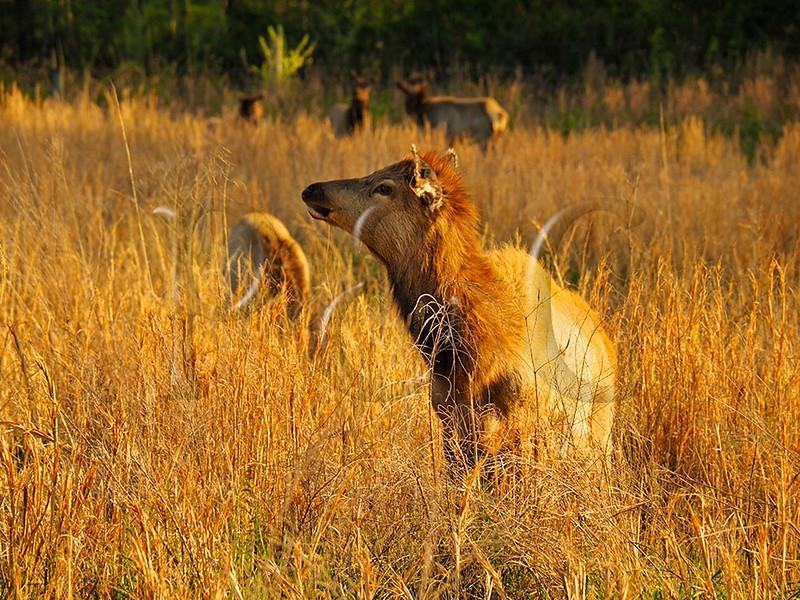 KY GOLDEN POND LAND BETWEEN THE LAKES NRA Elk and Bison Prairie APRAF_4150188fMMW