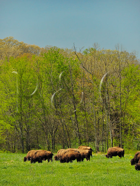 KY GOLDEN POND LAND BETWEEN THE LAKES NRA Elk and Bison Prairie APRAF_4150823MMW