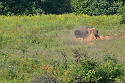 Elk & Bison Prairie - National Recreation Area - LBL