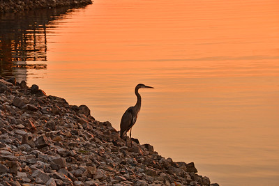 Heron at Lighthouse Landing