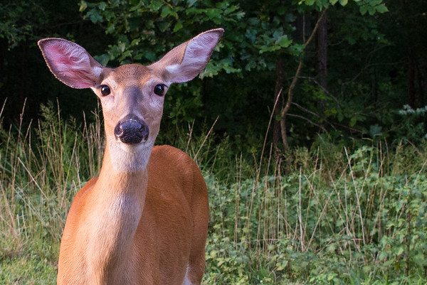 Beautiful doe at Mammoth Cave
