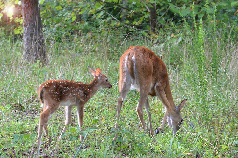 Mom and a young fawn - Mammoth Cave National Park