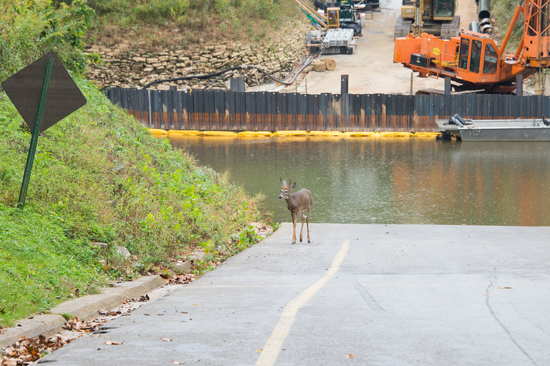 Spike buck checking out the construction at Green River Ferry