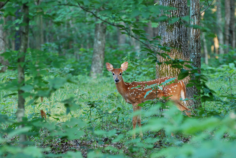 Fawn - Mammoth Cave National Park