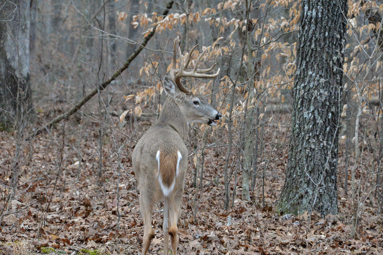 A nice 6 point buck eating acorns on a cold day at Mammoth Cave National Park