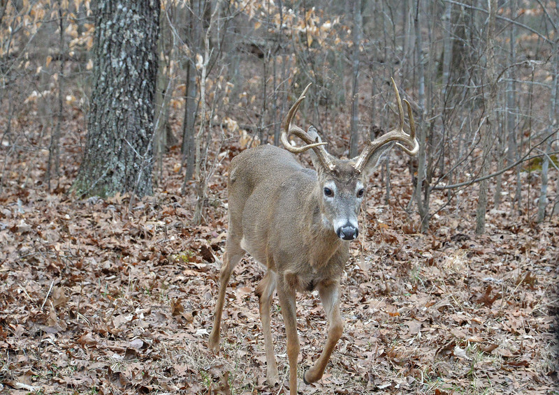 This 8  point buck is looking for his breakfast. Acorns seem to be on the menu. Such beauty at Mammoth Cave National Park