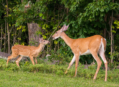 Beautiful fawn and doe - Mammoth Cave National Park