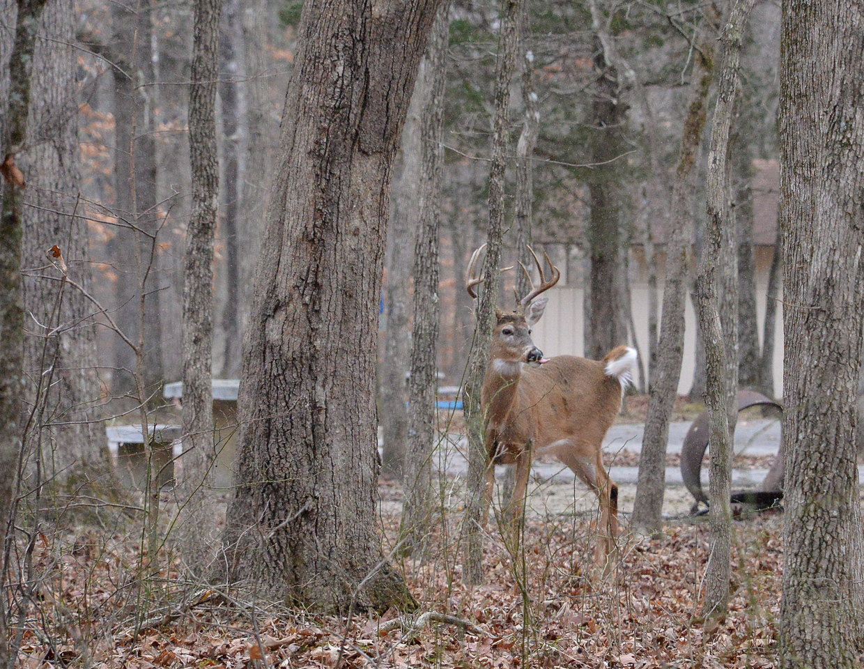 10 point buck sticking his tongue out - Mammoth Cave National Park