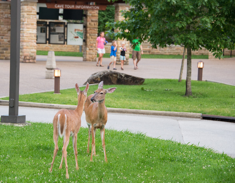 Deer at the visitor center - Mammoth Cave National Park