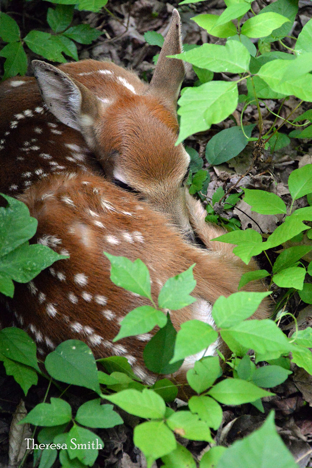 Just hours old this new born fawn waits for his Mom to return