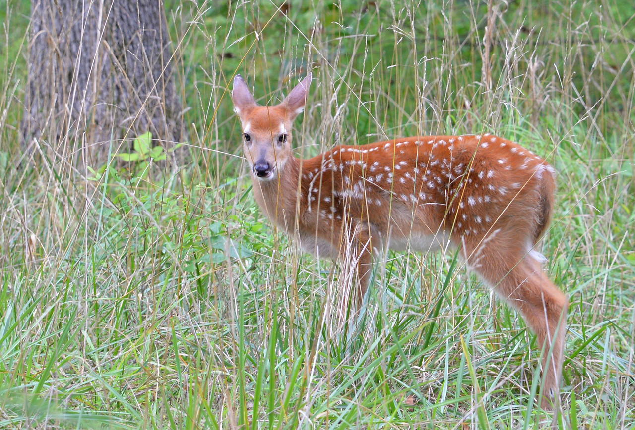 This beautiful fawn looks to be about two weeks old. Mammoth Cave National Park