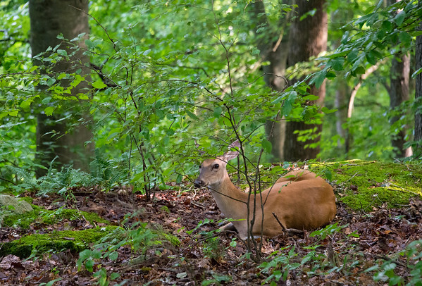 A doe bedded down at the Heritage Trail - Mammoth Cave National Park