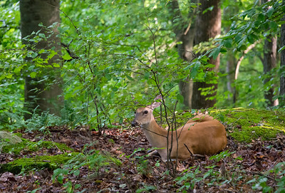 A doe bedded down - Heritage Trail at Mammoth Cave National Park
