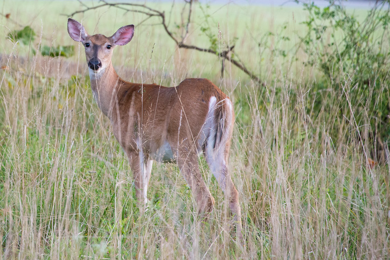 Young doe in tall grasses