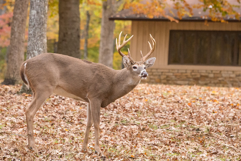 A chance encounter with a nice buck. They are in the rut now so you might just catch a glimmer of one.