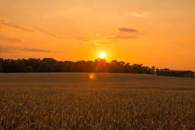 The sunset falls quickly over the wheat field.
