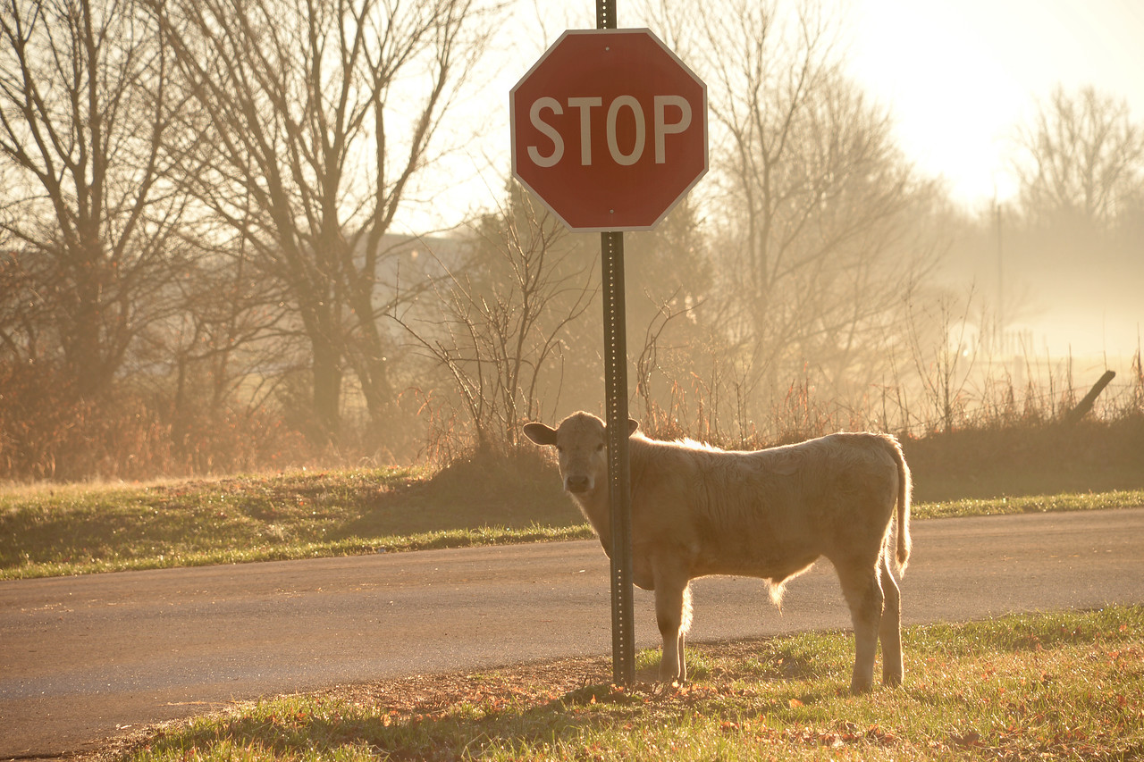 Even an old cow knows to stop at a stop sign