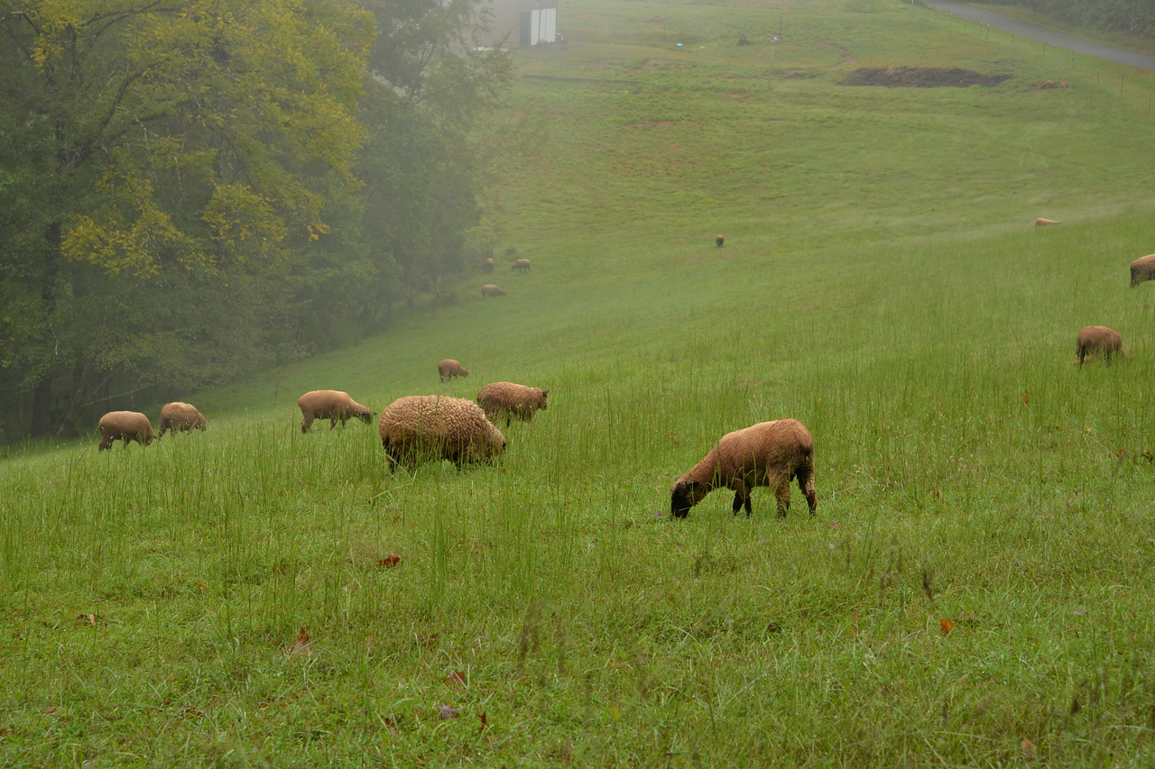 Sheep grazing on a farm, Metcalfe County, KY