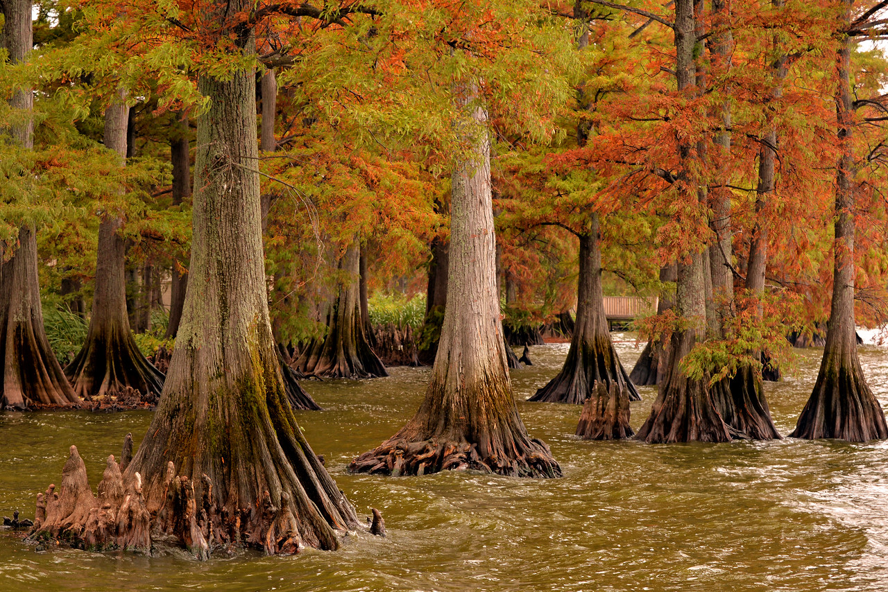 Fall colors in the bald cypress trees at Reelfoot Lake