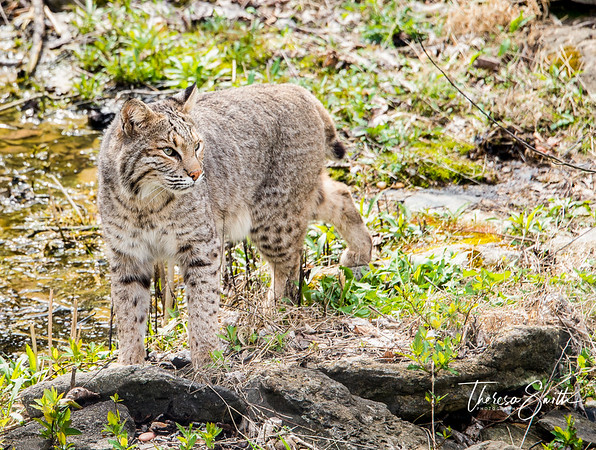 The illusive bobcat is named for its short, bobbed tail. They are medium-sized cats and are slightly smaller but similar in appearance to their cousin, the lynx. Their coats vary in color from shades of beige to brown fur with spotted or lined markings in dark brown or black.  Their home is usually a cave or rock shelter, but  it can also be a hollow log.