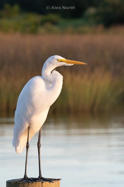 Birds-WhiteEgret1