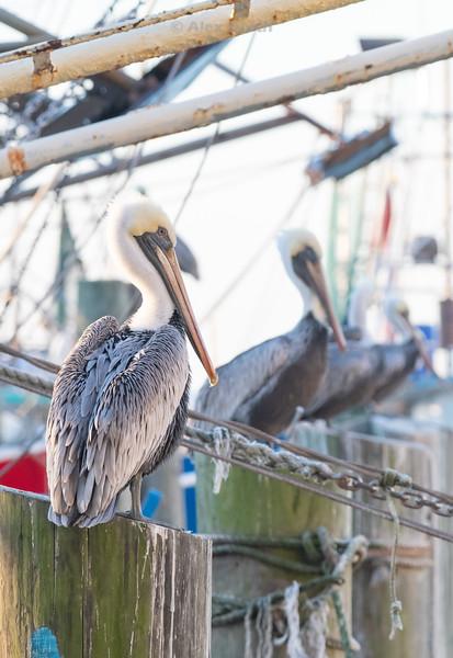 Birds-PelicansBoats2
