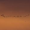 _DSC3265_512x512_Crop_Migrating_Cranes