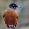 _2110128 American Robin in Orange_3000x3000