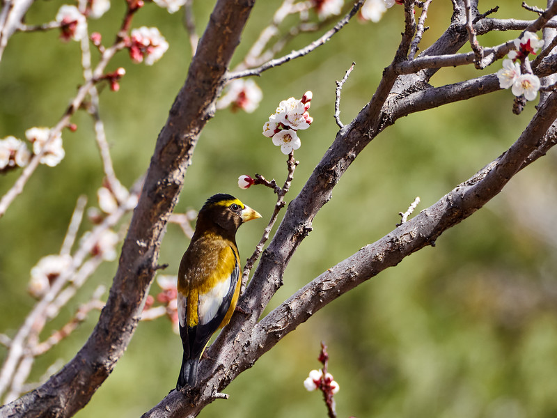_3250163 Evening Grosbeak_3618x2713