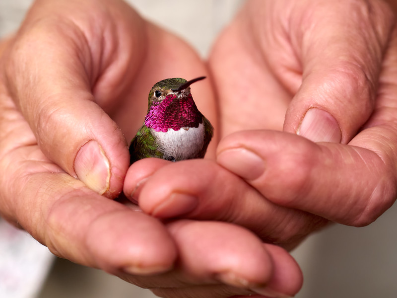 _5130002_Hummingbird_in_Hands_3600x2700