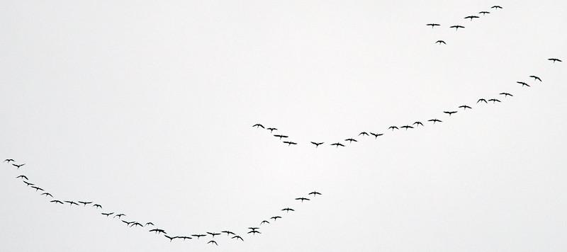 2016-02-28 • E-M5.2+75-300/4.8-6.7 - Sandhill Cranes Overhead