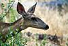 _DSC1749_Deer Portrait_6000x4000_2400x1600