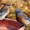 _1010027_Bluebird_Cedar_Waxwing_3240x2160