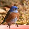 _1010043_Bluebird_1800x1800